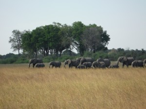 The herd of 20 elephants that walked by after our canoe trip.