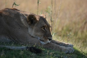 One of the female lions in the pride of four.
