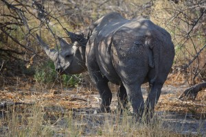The endangered black rhino we had the opportunity to see.